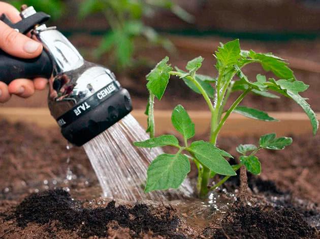 Полив высаженной рассады помидоров