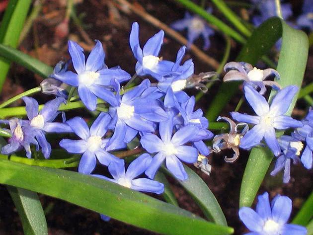 Хіонодокса сардинська (Chionodoxa sardensis)