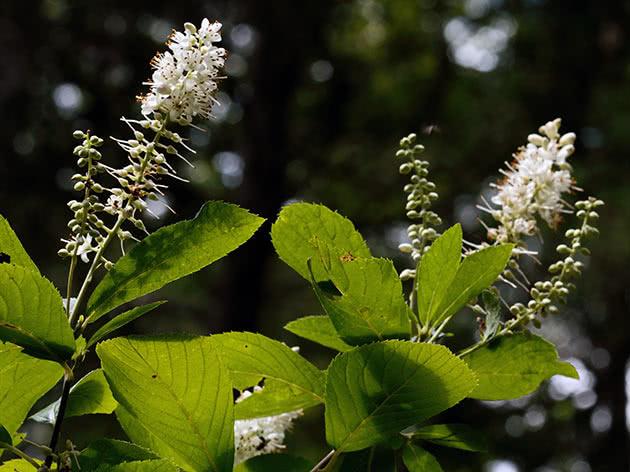 Клетра вільхолиста (Clethra alnifolia)
