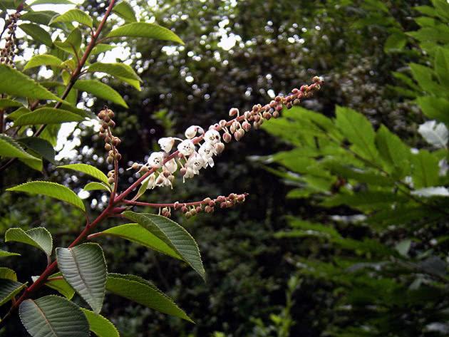 Клетра Делавая (Clethra delavayi)