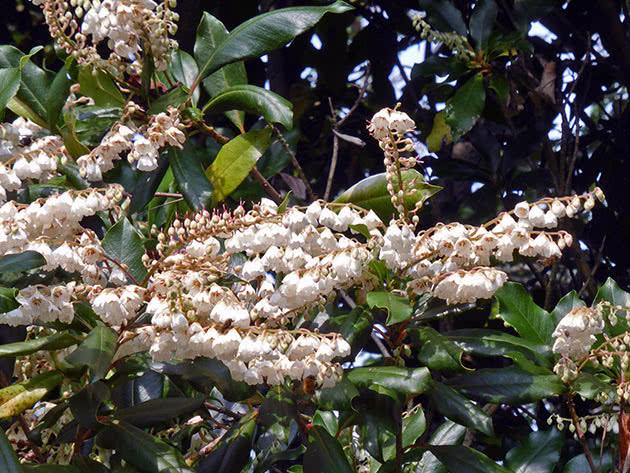 Клетра деревоподібна (Clethra arborea)