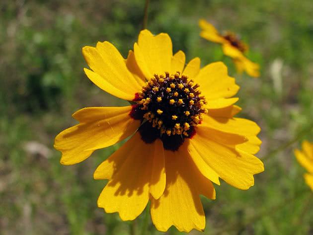 Кореопсис Друммонда (Coreopsis drummondii = Coreopsis basalis)