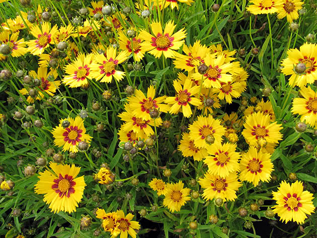 Кореопсис великоквітковий (Coreopsis grandiflora)