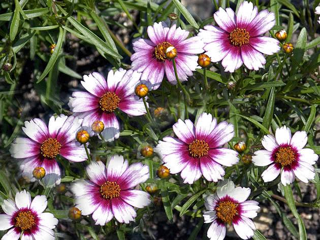 Кореопсис рожевий (Coreopsis rosea)