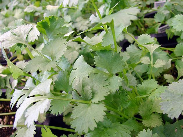 Вирощування коріандру з насіння