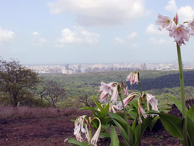 Кринум широколистий (Crinum latifolium)