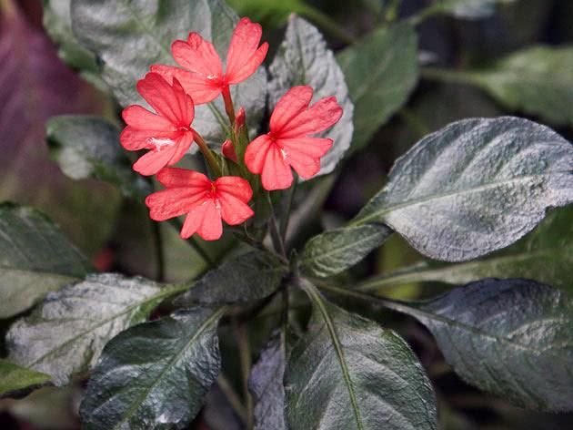 Кроссандра червона (Crossandra nilotica)