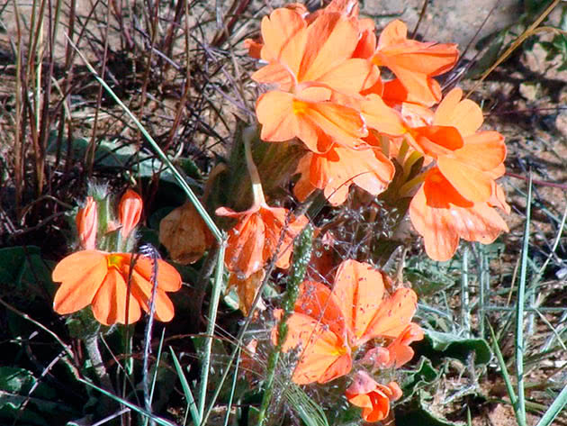 Кроссандра стеблова (Crossandra subacaulis)