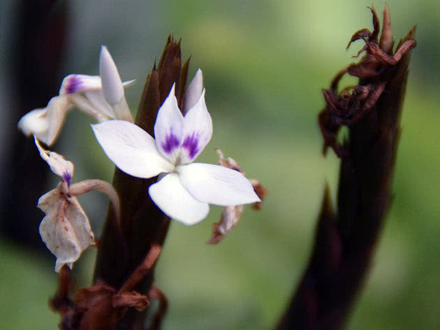 Кроссандра гвінейська (Crossandra guineensis)