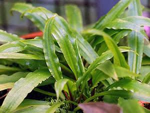 Растение криптокорина: уход в домашних условиях