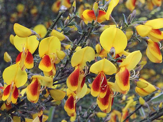 Ракитник венечный (Cytisus scoparius)