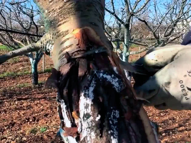 Лікування дерев від зимових ушкоджень