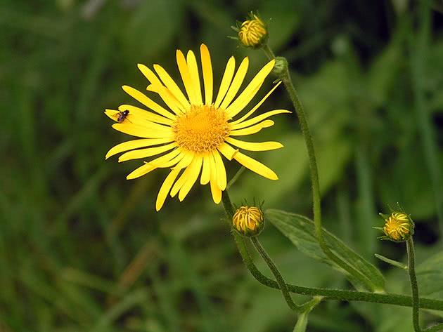 Сугайник австрійський (Doronicum austriacum)