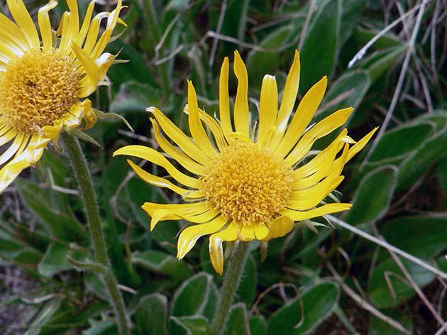 Сугайник Клюза (Doronicum clusii)