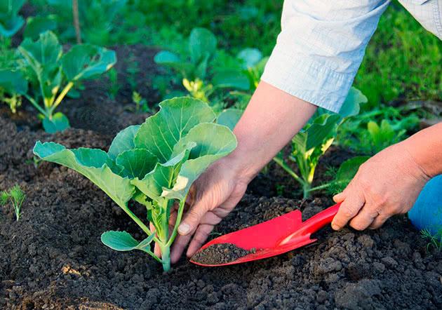 Використання деревної золи на городі