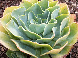 Растение эхеверия: уход в домашних условиях