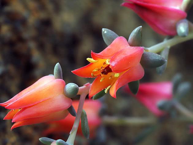 Эхеверия Гармса (Echeveria harmsii)