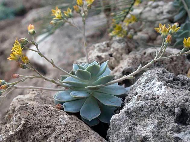 Эхеверия многостебельчатая (Echeveria multicaulis)