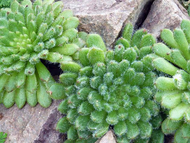 Эхеверия щетинистая (Echeveria setosa)