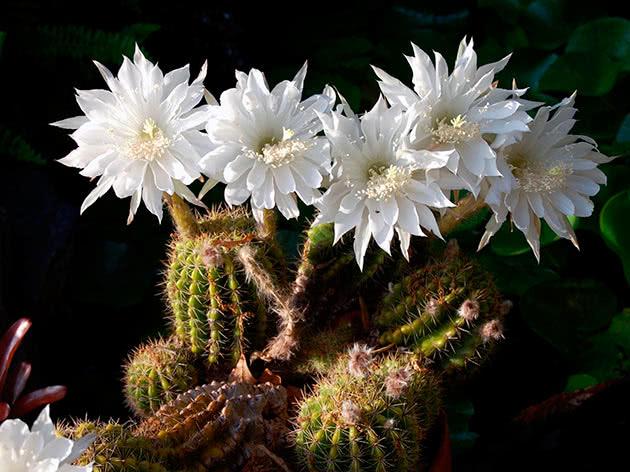 Ехінопсис Ейріеза (Echinopsis eyriesii)