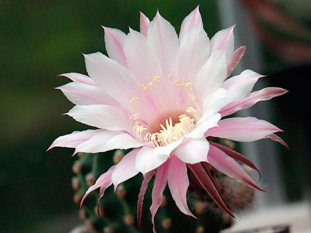 Ехінопсис трубкоцвітнийй (Echinopsis tubiflora)