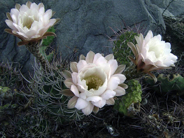 Ехінопсис Хуаша (Echinopsis leucantha)