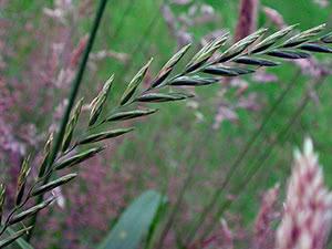 Трава пырей ползучий – применение и выращивание