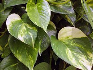Растение эпипремнум: уход в домашних условиях