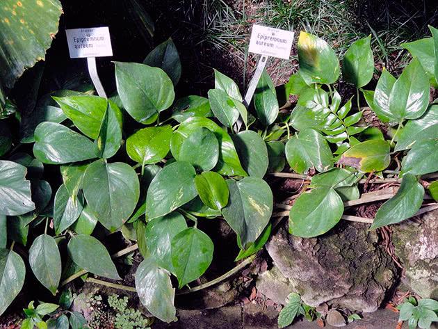 Эпипремнум лесной (Epipremnum silvaticum)