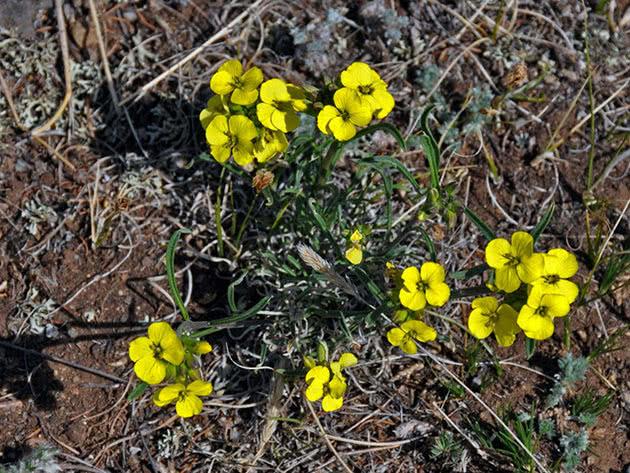 Жовтушник жовтий (Erysimum flavum)