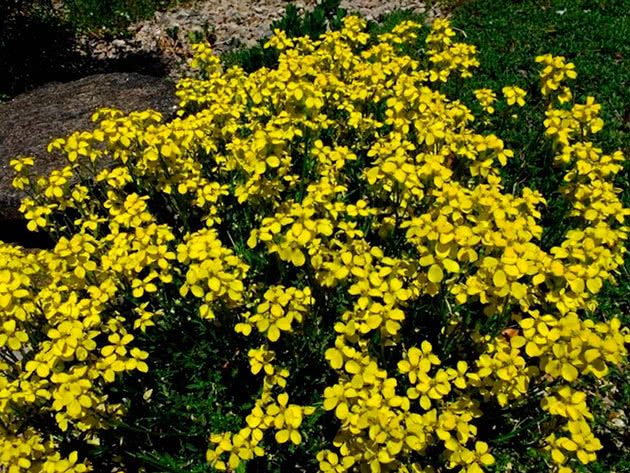 Жовтушник гарненький (Erysimum pulchellum)