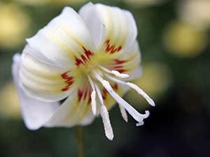 Растение эритрониум – выращивание в саду