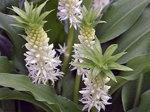 Рослина еукоміс – вирощування в саду