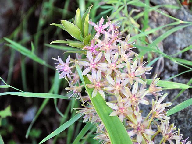 Еукоміс двоколірний (Eucomis bicolor)