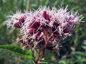 Цветок посконник: посадка и уход