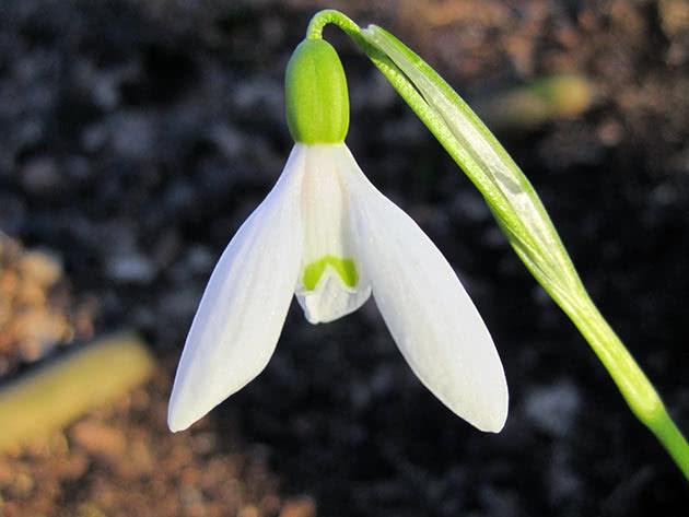 Подснежник икарийский (Galanthus ikariae)