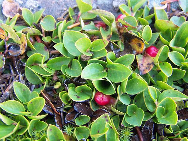 Гаультерия распростертая (Gaultheria humifusa)
