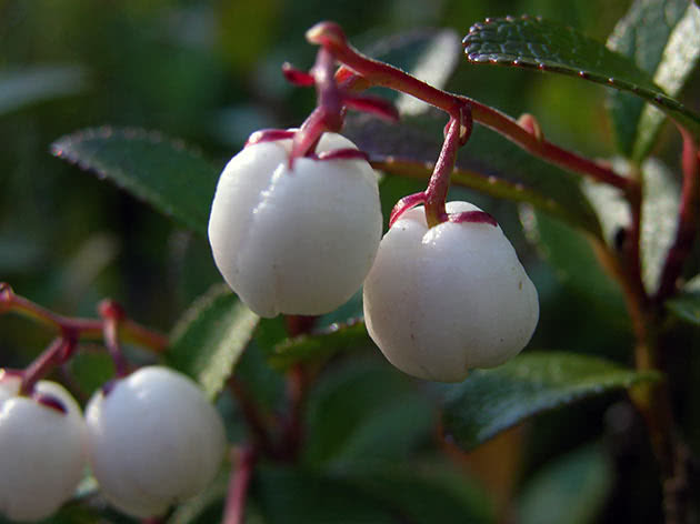 Гаультерия Микеля (Gaultheria miqueliana)