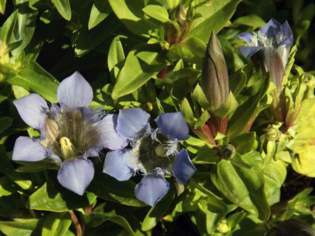 Горечавка семираздельная (Gentiana septemfida)