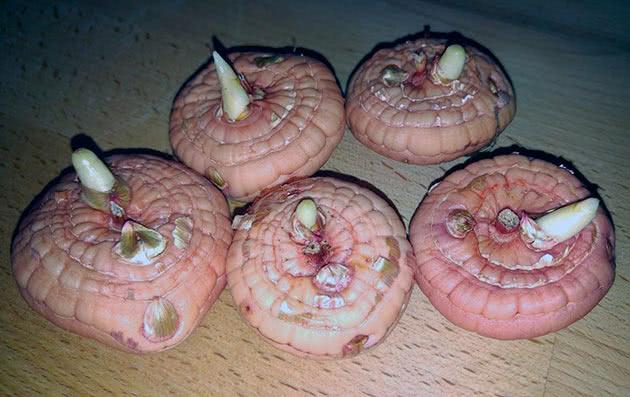 Крупные луковицы гладиолусов