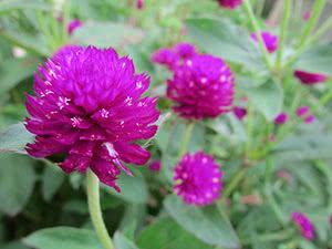 Растение гомфрена: посадка и уход в открытом грунте