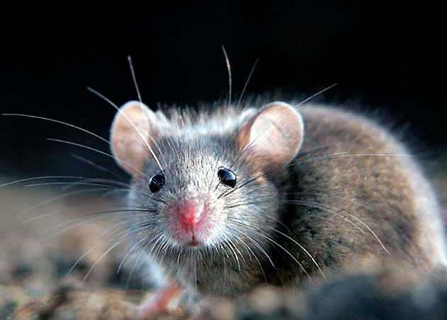 Хатня миша