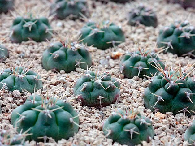Гимнокалициум горбатый (Gymnocalycium gibbosum)