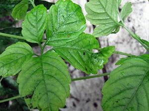 Растение гиностемма – выращивание в саду