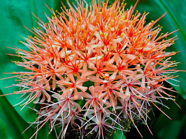 Гемантус Ліндена (Haemanthus lindenii)