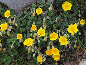 Трава сонцецвіт: посадка і догляд