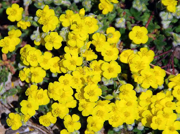 Сонцецвіт альпійський (Helianthemum alpestre)