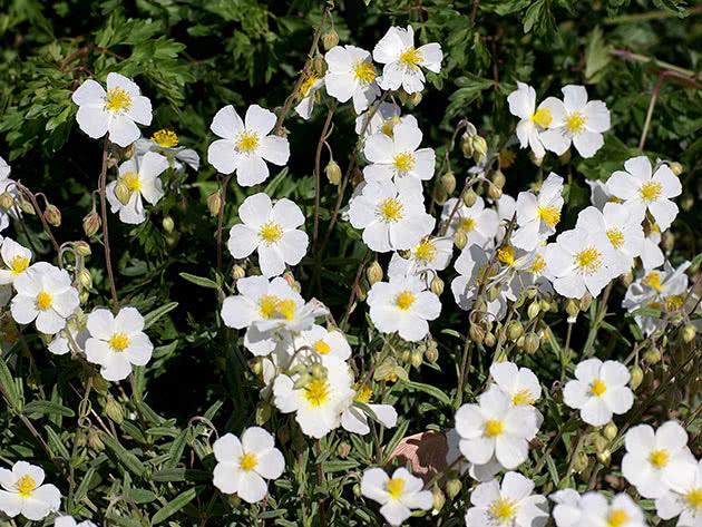 Сонцецвіт апеннінський (Helianthemum apenninum)
