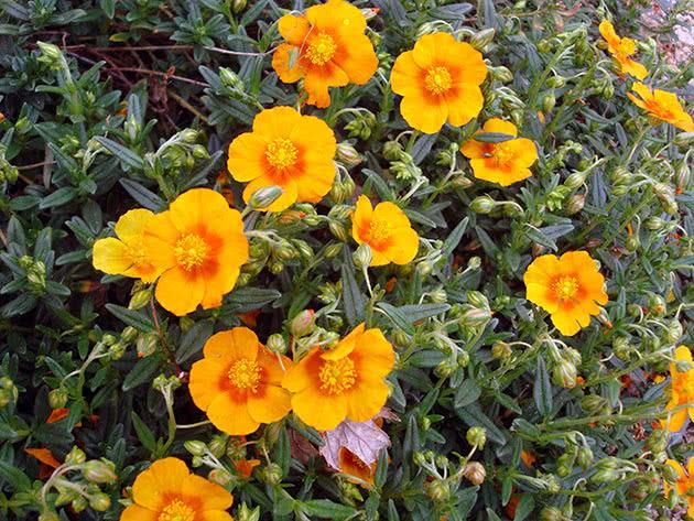 Сонцецвіт звичайний (Helianthemum nummularium)