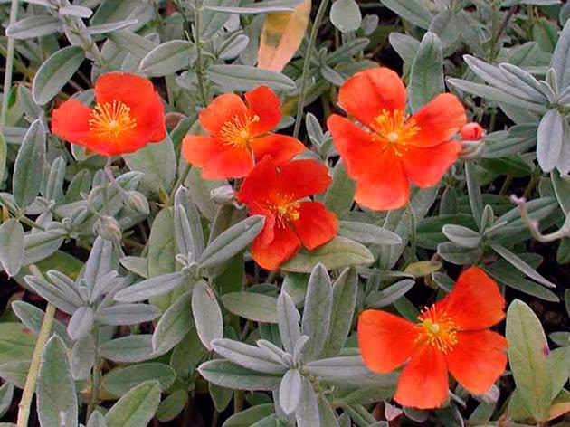 Сонцецвіт гібридний (Helianthemum х hybridum)